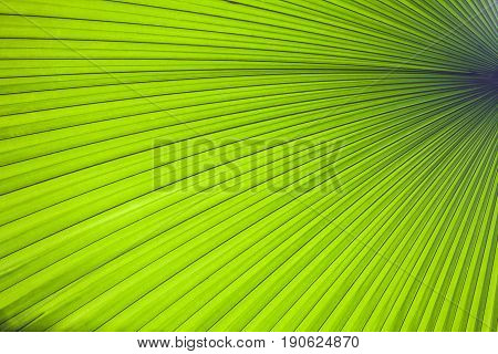 Abstract image of green palm leaf for background.Texture of Green palm Leaf