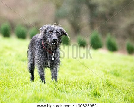 Mixed Breed Dog Stood On Grass In The Rain