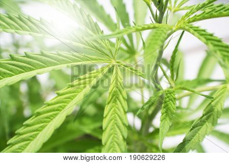 Cannabis Plant Leaf Close Up High Quality Stock Photo
