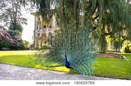 Stresa Italy 21 may 2017- a blue peacock spreading tail under a big Kashmir cypress tree in the Isola Madre (Mother Island) area in Stresa on the lake Maggiore.
