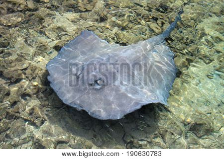 Stingray swimming in shallow water at the coast of Tobacco Caye, Belize, Central America