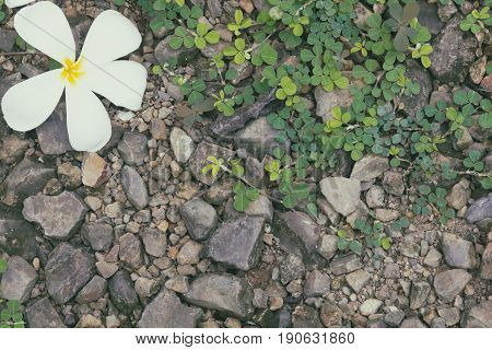 Frangipani flower on the ground with green plant. Abstract nature background in vintage color.