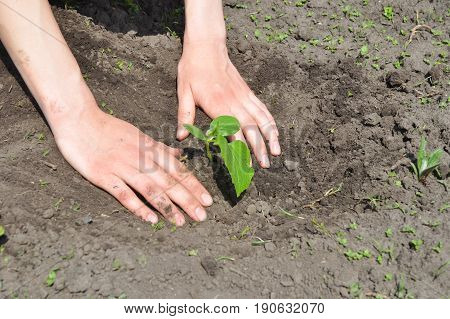 Cucumber planting tips. Cucumbers: Planting Growing and Harvesting Cucumber Plants.