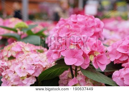 Plenty of colorful flowers in floral shop