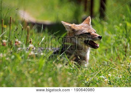 Andean fox, lycalopex culpaeus, also known as culpeo, zorro culpeo or andean wolf. Carretera Austral Chile