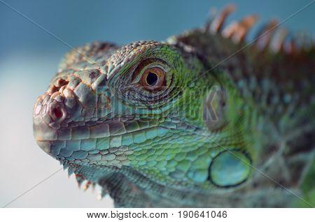 iguana greeniguana closeup iguana eye iguanaskin iguanaportrait animal