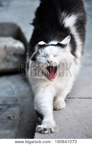 cat stretching yawning black white kitten gato