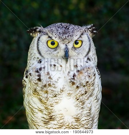 European Eagle Owl, Half-body, looking directly at the lens