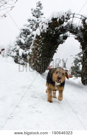 A dog stands in snow in a winter snow covered scene