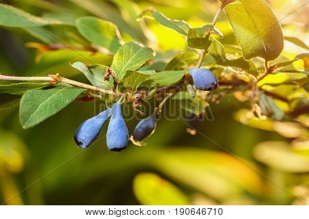 ripe blue berries of  honeysuckle on a branch with leaves. Summer background. Nature, agriculture and gardening concept. Honeysuckle bush. Photo with selective focus and copy space