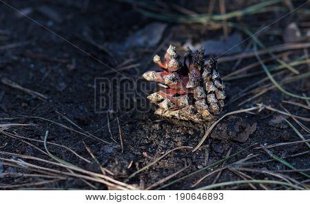 cedar pine cone i on nature ground background