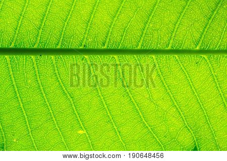 leaves ,Green leaf background,Beautiful pattern,green color,nature,one piece,surface,