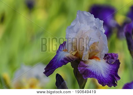 Yellow villi on white and purple petals of iris in one flower.