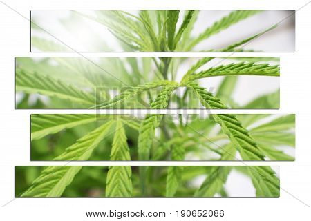 Cannabis Art Close Up High Quality Stock Photo