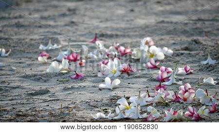 Plumeria flowers in the sand Red, white and pink plumeria flowers are scattered in the sand at a beachside wedding