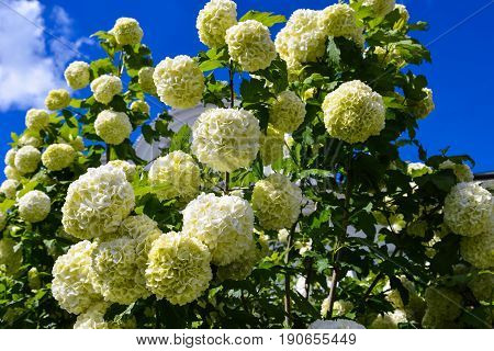 Blooming guelder rose tree. Viburnum with large white flowers. Beautiful summer garden. Summertime, nature. Amazing landscape for prints, interior decoration, posters, calendars, wallpapers.