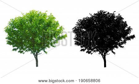 a tree isolated on white background with alpha mask