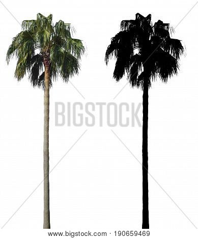 high palm tree isolated on white background with alpha mask