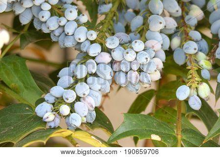 close up on mahonia aquifolium oregon grape