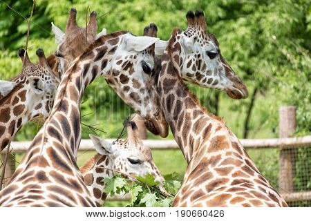 Close-up portrait of giraffe group Giraffa Camelopardalis with green blurry background.