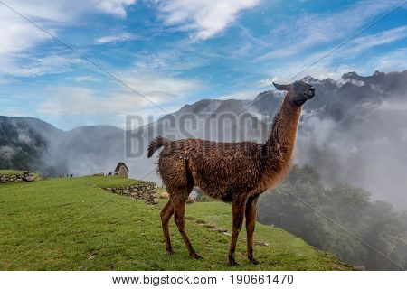 Alpaca  standing on the grass in Machu Picchu in Peru