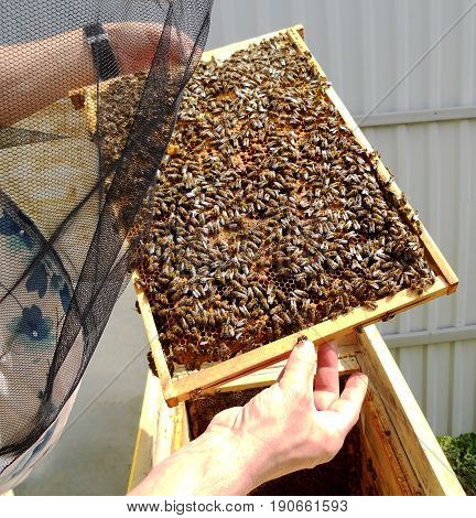 The photo shows beehive honey nectar hive swarm winged bee honeycomb wax private apiary.