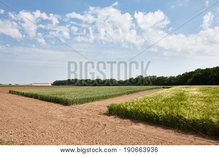 Green flends of different cereal plants: wheat, barley, wheat