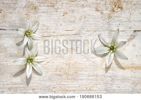 Three Star Of Bethlehem Flowers As A Frame On A Wooden Background, Two At The Left Side And One At T