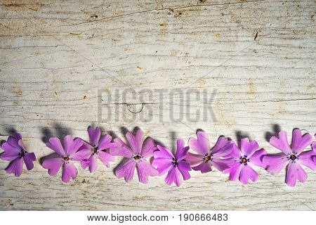 Frame Of Pink Shaggy Phlox In A Row On An Old Shabby Painted Wooden Background With Copy Space For Y