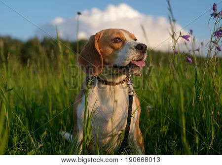 Dog portrait Beagle for a walk on a summer evening among the wildflowers and herbs
