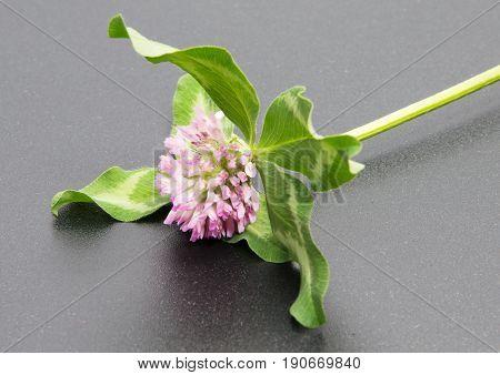 Clover flower isolated on black background. Trifolium pratense