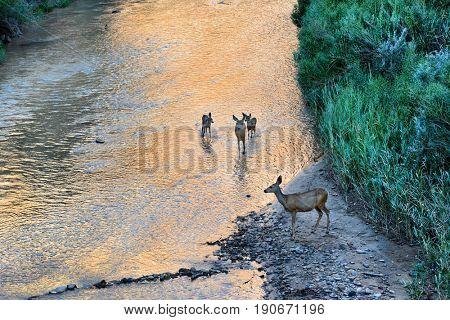 Deer at sunrise  in the North Fork of the Virgin River, Zion National Park, Utah.