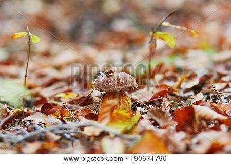 One Boletus Mushroom In Forest
