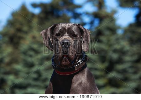 dog breed german mastiff on green background