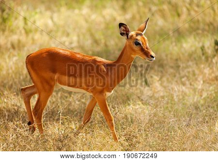 Portrait of fawn impala with glossy coat walking alone in the arid savannah, South Africa