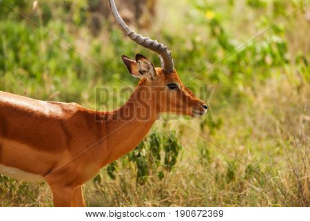 Side view portrait of beautiful male impala standing in savannah, Kenya, Africa