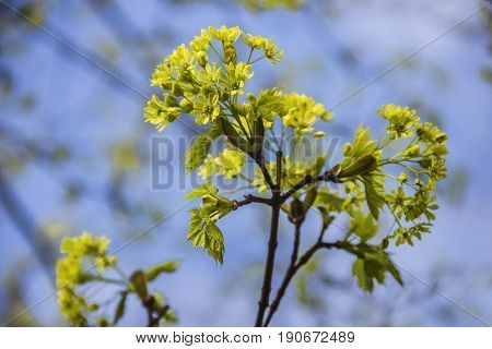 Spring blossoming of the norway maple tree, Acer platanoides, close up shot against blurry branches and sky background