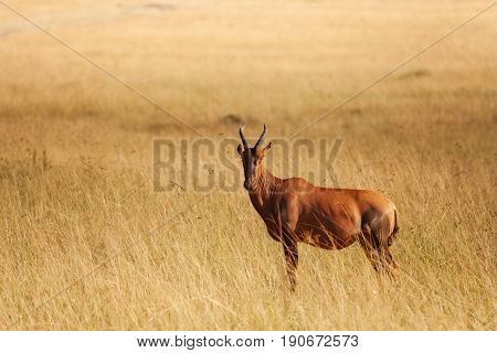 Side view portrait of topi antelope standing in dried grass of Kenyan savannah, Africa