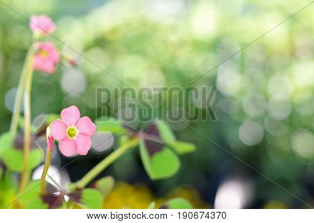 Pink flower of good luck plant on blurred background