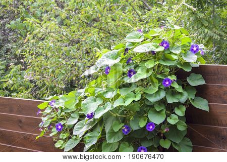 Morning Glory (Ipomoea) flowers twine upward wooden fence