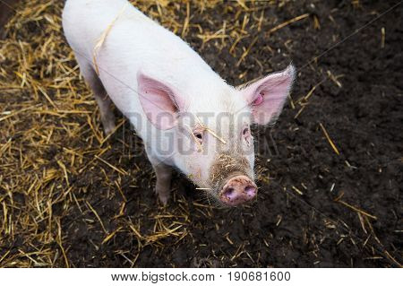 Domestic Pigs On A Farm