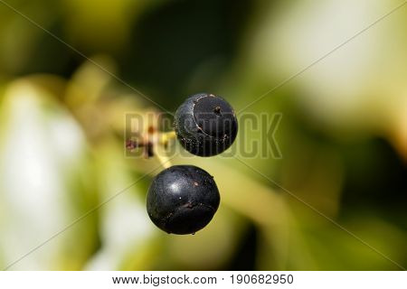 Berries of a common ivy (Hedera helix)