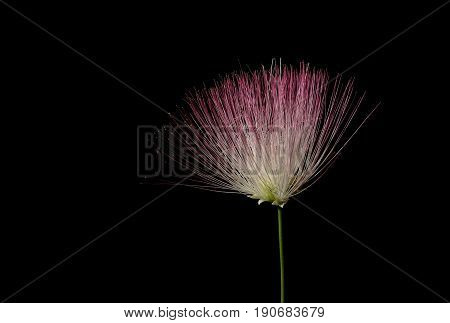Flower from a Mimosa tree ( Albizia julibrissin ) on black