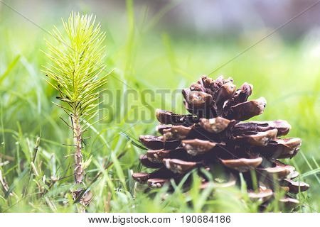 Sapling Stone Pine With Cone Nearby In Nature Pinus Pinea