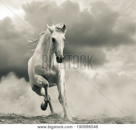 andalusian stallion running in the storm front view