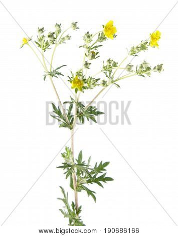 Hoary cinquefoil (Potentilla argentea) isolated on white background. Medicinal plant