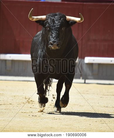 bull in sàin with big horns in bullring