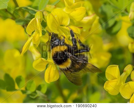 Honeybee collects some pollen from yellow flower