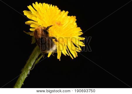 The story of a bumblebee who decided to eat nectar from a dandelion on the black background