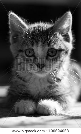 Close-up portrait of tabby house cat - black and white, wallpaper